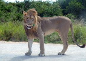 An Addo lion with a beer bottle in its mouth prompts calls against littering in national wildlife parks.
