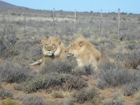 Karoo lion (1)