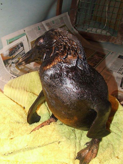 One of the penguins  washed up  due to the oil leaking from the Kiani Satu.