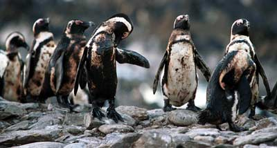 Oiled penguins on Robben Island try to preen oil off feathers during Treasure oil spill off Cape Town, South Africa in 2000. (Photo: John Hrusa/IFAW