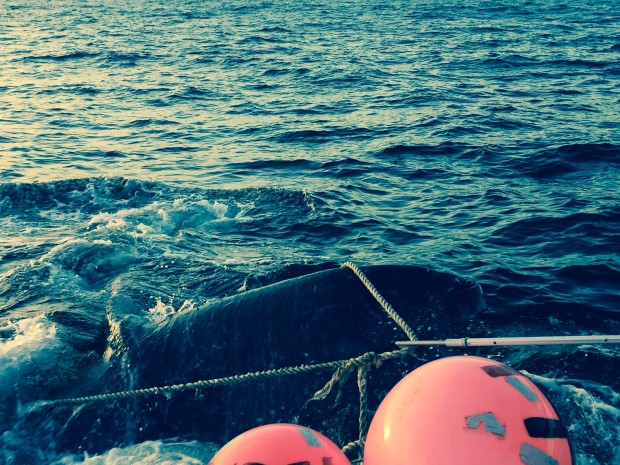 Whale entangled in bouys and rope. Photo: NSRI