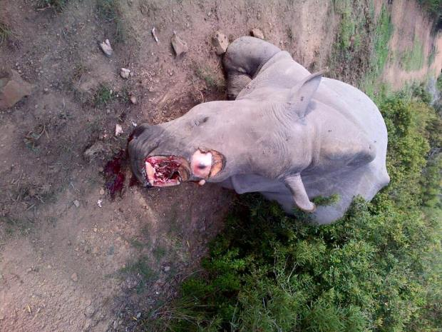 PhotoL Lof rhino carcass found on Lombardini Game Farm