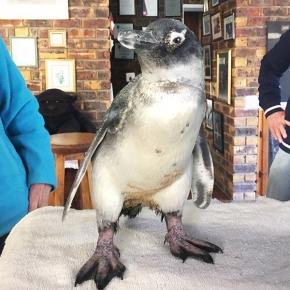 poiled-penguin